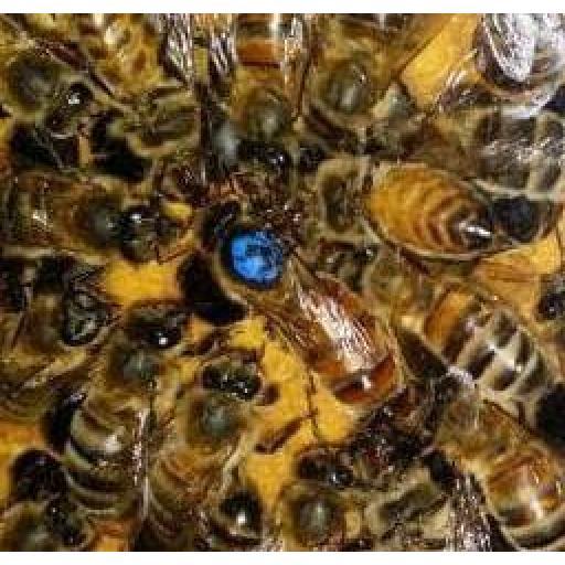 queen-bees-for-sale-buckfast-queens-498-p.jpg